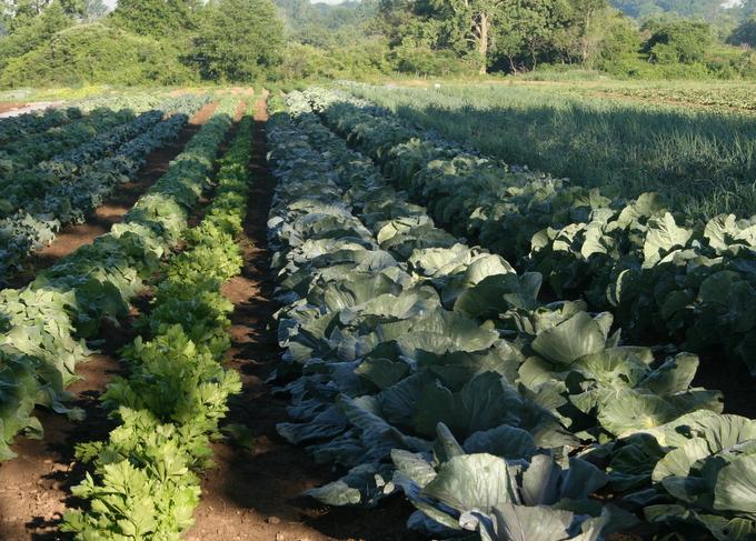CSA garden in July