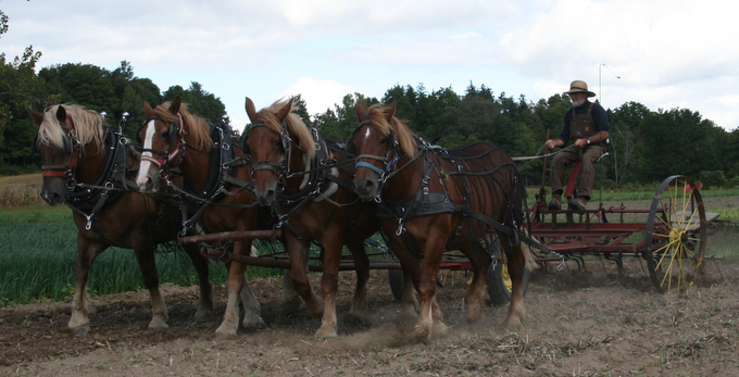 Ken and a Four Horse Hitch Cultivating Wheat Ground