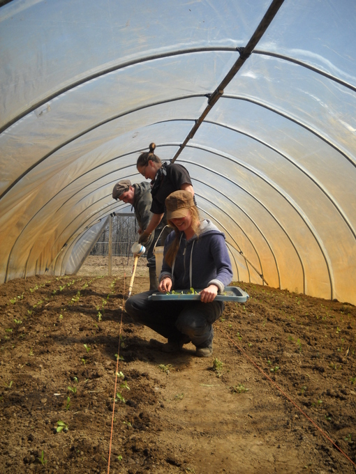 Jean-Francois, Stephanie and Carrie Beatty Transplanting Lettuce into Newly Erected Hoop House