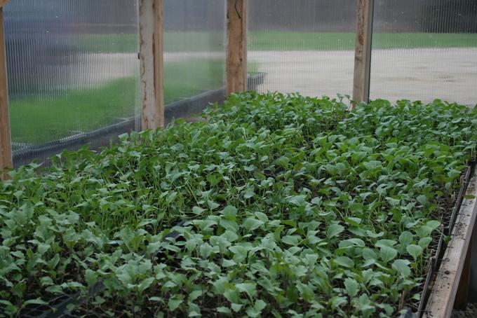 BrassicaTransplants Growing Well