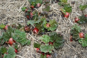 Rhubarb Poking Up