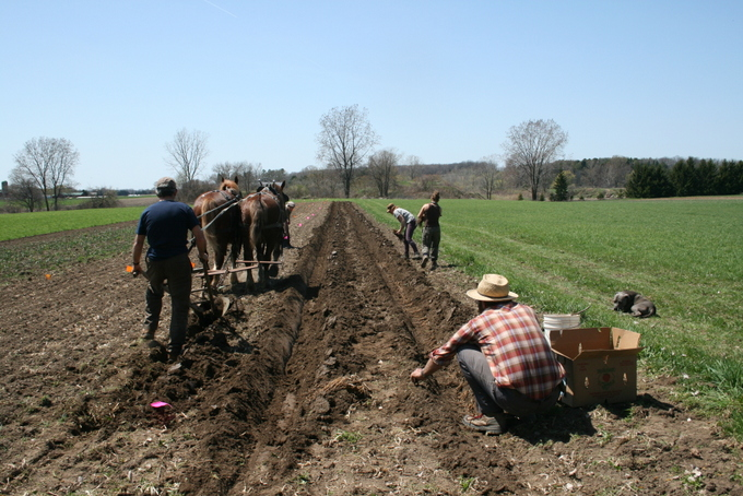 Planting New Asparagus Field