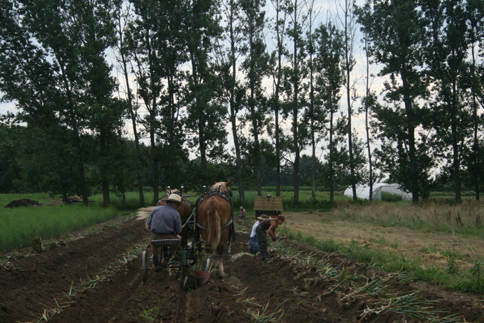 Ploughing out Garlic with Sufflok Punch Horses