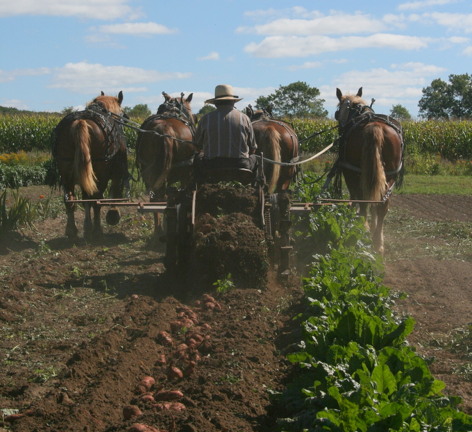 Digging Sweet Potatoes with our Horse Drawn Potato Digger