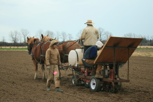 Suffolk Punch Horses Pulling Transplanter