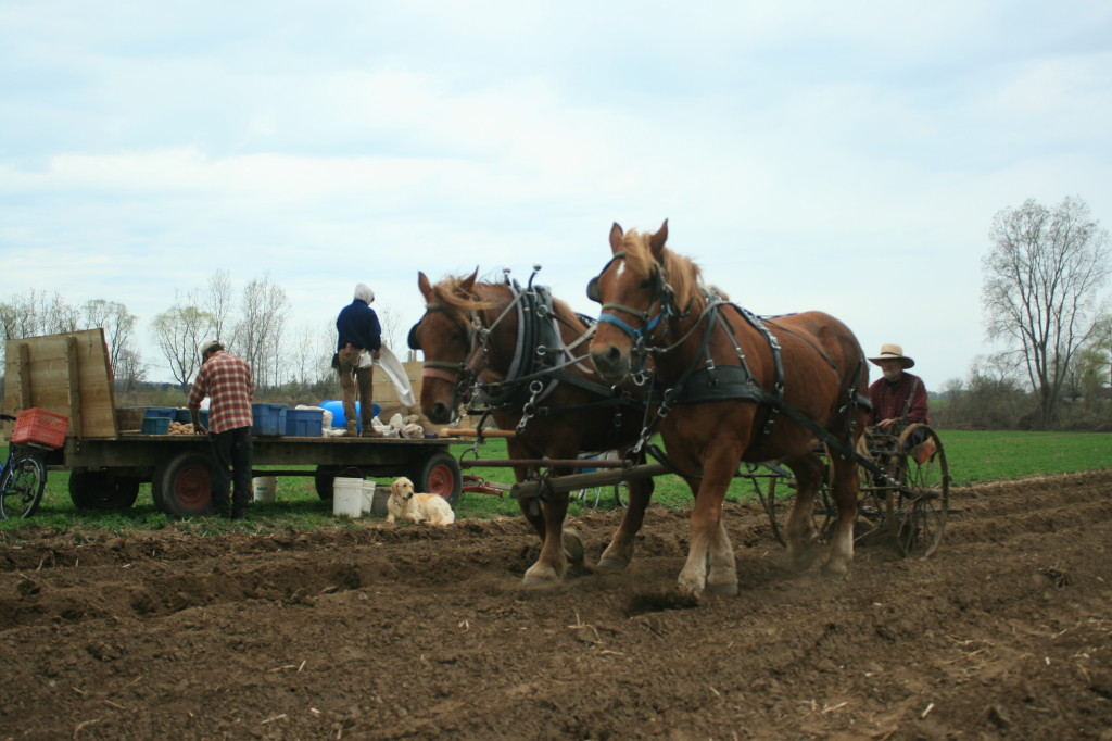 Planting Potatoes Suffolks Filling in the Furrows