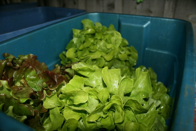 Some of our Early Head Lettuce