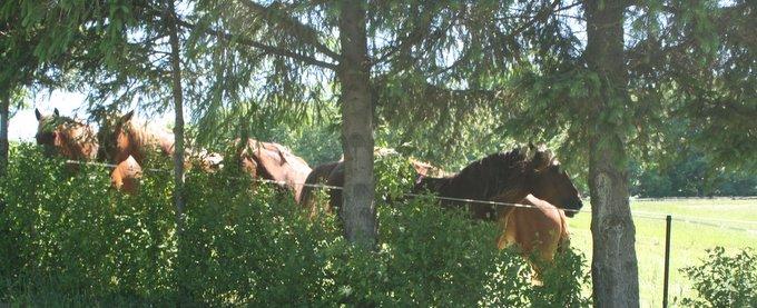 Suffolk Punch Horses Enjoying their Sunday Off