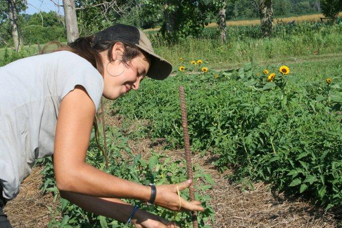 Charlotte Trellising Tomatoes