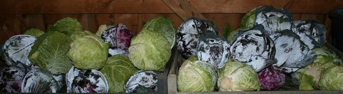 Some of the First Cabbage of the Season