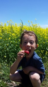 CSA Member enjoying a Strawberry with Mustard Cover Crop in the Background - photo credit Bonnie Weitzel