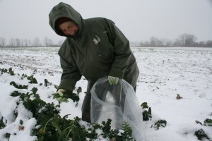 Picking Kale in the Snow!