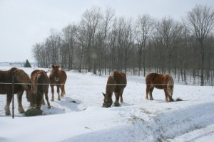 Suffolk Punch Draft Horses Happy on a Snowy Day
