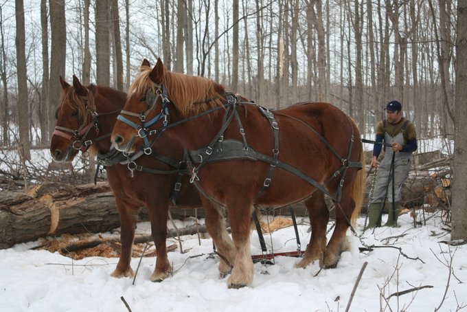 Suffolk Horses Hauling Logs out to Pathways