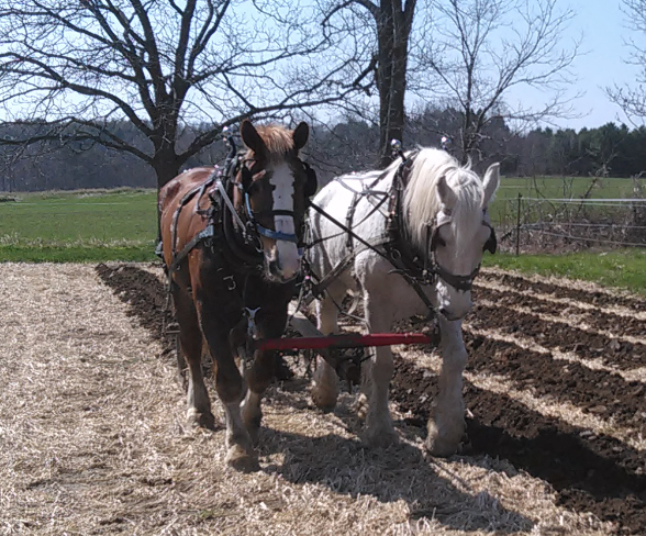 Queen and Ned Opening up the Furrows for Seed Potatoes in No-Till Section of Field