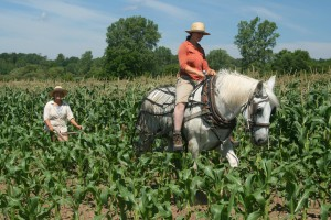 Cultivating between the rows of corn with a single row cultivator.