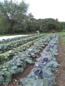 Harvesting Brassicas