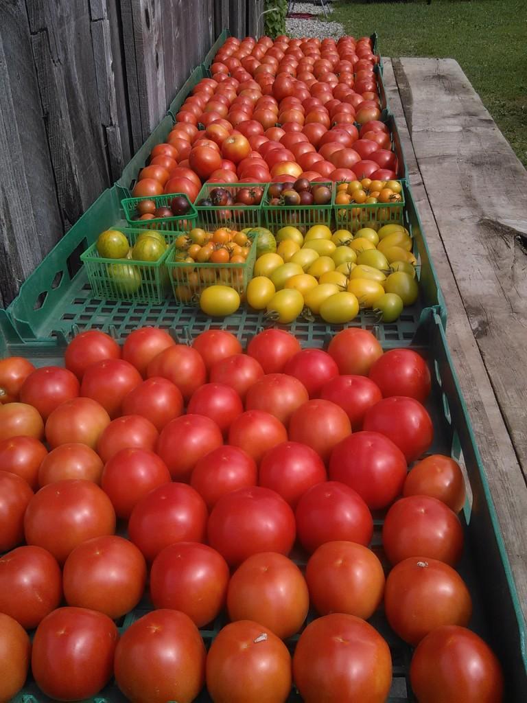 CSA Tomatoes