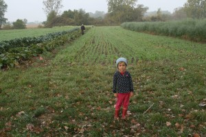 Garlic Field Cover Crop before Planting