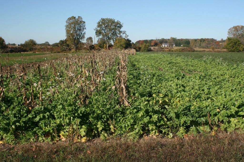 Diakon Radish Cover Crop in Corn Field