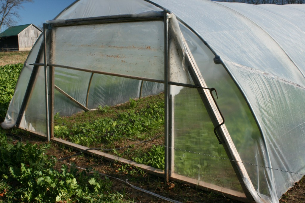 Winter Salad Greens in Hoophouse