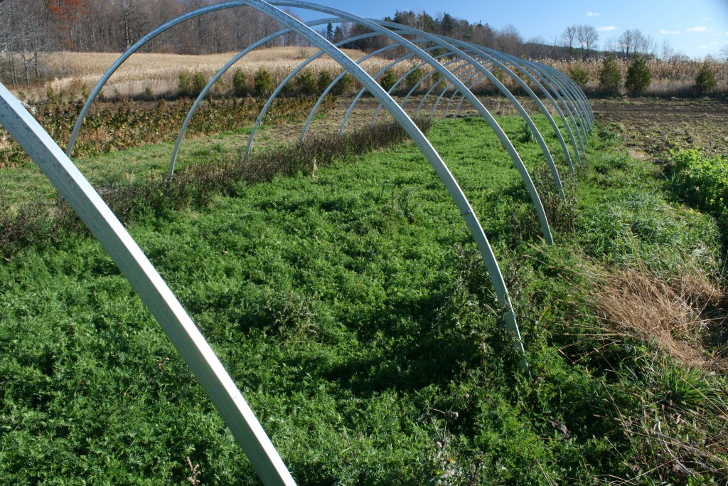 Vetch Cover Crop in Cucumber Hoop House