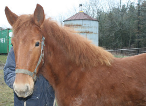 Introducing Sadie our new Suffolk Punch Filly