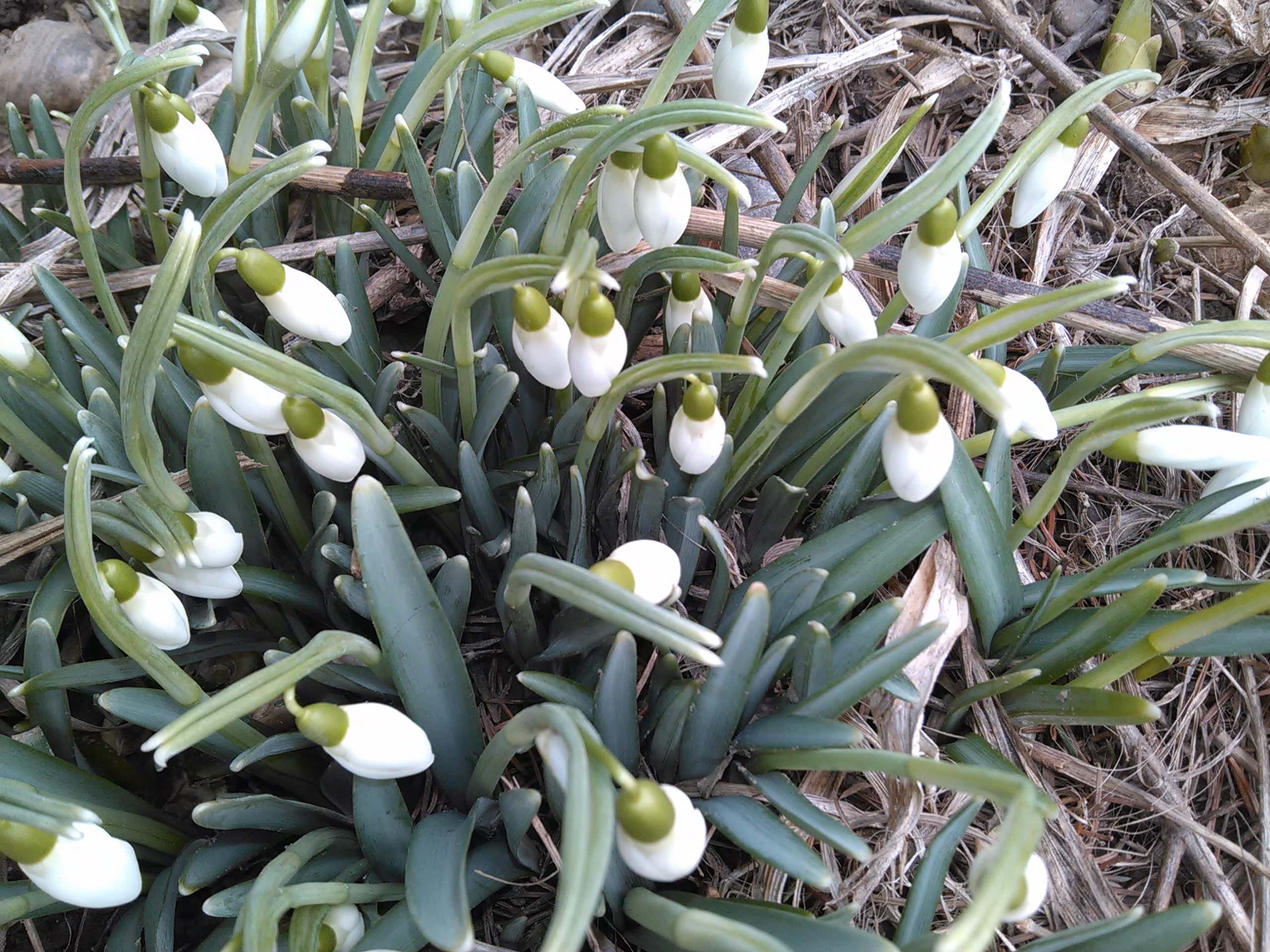 Snow Drops Announcing the End of Winter!