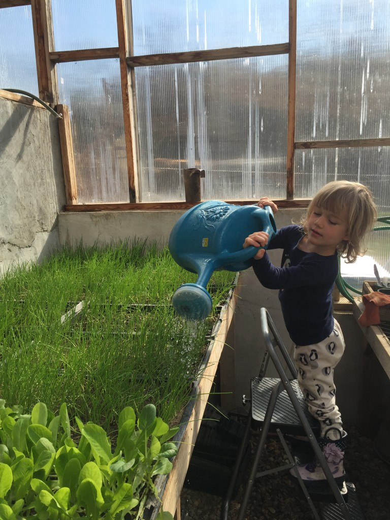 Della watering onions in the greenhouse
