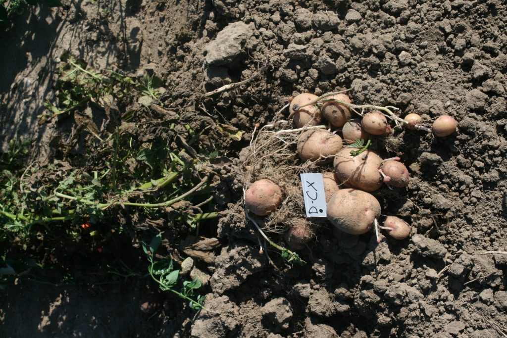 One Selection from our Organic Potato Trial